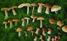 在绿草的新近地被采摘的蘑菇 免版税库存照片