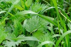 在绿草的新鲜的荨麻 图库摄影