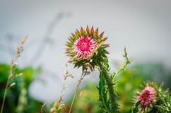 在绿草的桃红色植物名反对天空蔚蓝 图库摄影