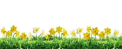 在绿草的水仙 边界春天 免版税库存照片