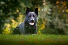 在绿草的沮丧 德国牧羊犬狗,是于德国发起大型工作犬的品种,坐在 免版税库存图片
