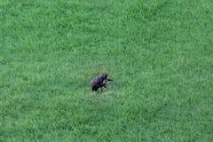 在绿草的灰鼠在庭院,迪拜2017年9月1日里 免版税库存图片