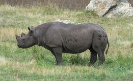 在绿草的犀牛 库存照片