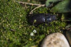 在绿草的甲虫本质上,犀牛甲虫Dynastin 库存照片