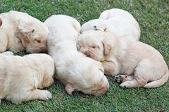 在绿草的睡觉拉布拉多小狗-三个星期年纪。 免版税库存图片