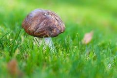 在绿草的秋天蘑菇 库存照片