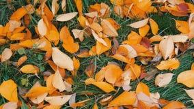 在绿草的秋天黄色落叶在公园 股票录像