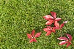 在绿草的红色叶子 库存图片