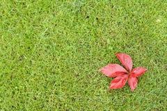 在绿草的红色叶子 免版税库存照片