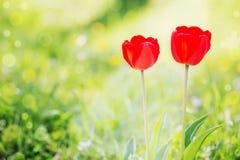 在绿草的红色郁金香 免版税库存照片