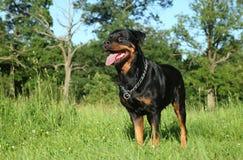 在绿草的纯血统Rottweiler 库存照片