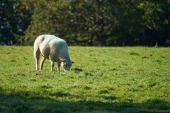 在绿草的绵羊 库存照片