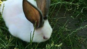 在绿草的美丽的幼小小兔子在夏日 股票视频