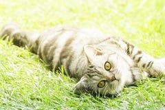 在绿草的美丽的镶边猫 免版税图库摄影