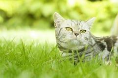 在绿草的美丽的镶边猫 免版税库存照片