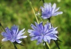 在绿草的蓝色花 免版税库存图片