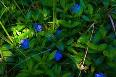 在绿草的蓝色花 图库摄影