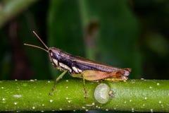 在绿草的蚂蚱的 图库摄影