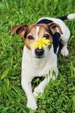 在绿草的逗人喜爱的狗与在枪口的黄色花 免版税库存图片