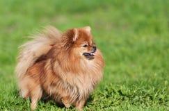 在绿草的逗人喜爱的Pomeranian波美丝毛狗狗 免版税图库摄影