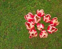 在绿草的郁金香花束 库存图片