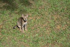 在绿草的镶边射击头发猫 免版税库存照片