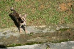 在绿草的镶边射击头发猫 免版税图库摄影