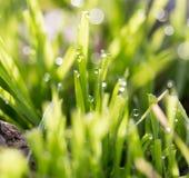 在绿草的露滴 库存图片