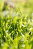 在绿草的露滴 图库摄影