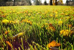 在绿草的黄色叶子 划分为的叶子 秋天起始  图库摄影