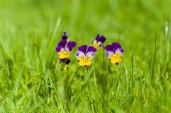 在绿草的黄色和紫色春天蝴蝶花 库存照片