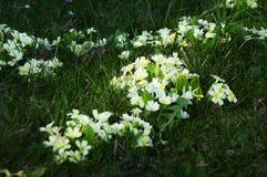 在绿草的黄色报春花 库存图片