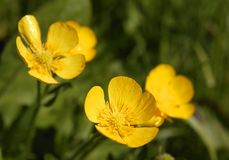 在绿草的黄色毛茛花 免版税库存照片