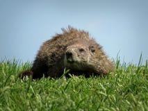 在绿草的Groundhog 免版税库存照片