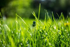 在绿草的Unblown蒲公英 图库摄影