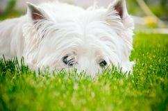 在绿草的Westie 图库摄影