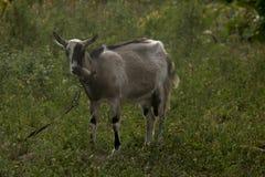 在绿草立场一只被束缚的山羊 图库摄影
