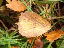 在绿草背景湿雨下落的死的棕色叶子秋天 库存照片