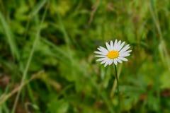 在绿草背景的一朵雏菊花  库存图片