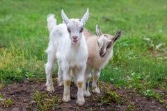 在绿草背景的两只小的山羊  动物农场横向许多sheeeps夏天 免版税图库摄影
