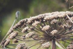 在绿草背景的伞干母牛欧洲防风草  库存图片