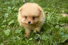 在绿草背景的好奇橙色Pomeranian波美丝毛狗小狗去照相机 免版税库存照片