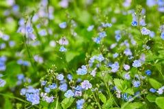 在绿草背景的小的蓝色花  库存照片