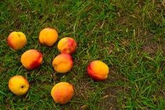 在绿草背景的明亮的油桃  库存图片