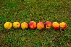 在绿草背景的明亮的油桃  图库摄影