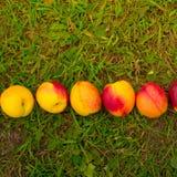 在绿草背景的明亮的油桃  免版税库存图片