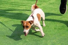 在绿草背景的服从的狗和多钩长线训练皮带 免版税库存照片
