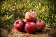 在绿草背景的红色苹果  秋天收获 图库摄影
