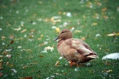 在绿草背景的逗人喜爱的棕色鸭子特写镜头  免版税库存图片