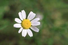 在绿草背景的雏菊花在春天的 库存图片